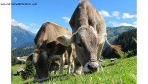Büyükbaş hayvan sayısı bir önceki yıla göre %1,6 artarak 18 milyon 158 bin baş oldu