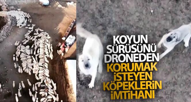 Koyun sürüsünü droneden korumak isteyen çoban köpeklerinin imtihanı